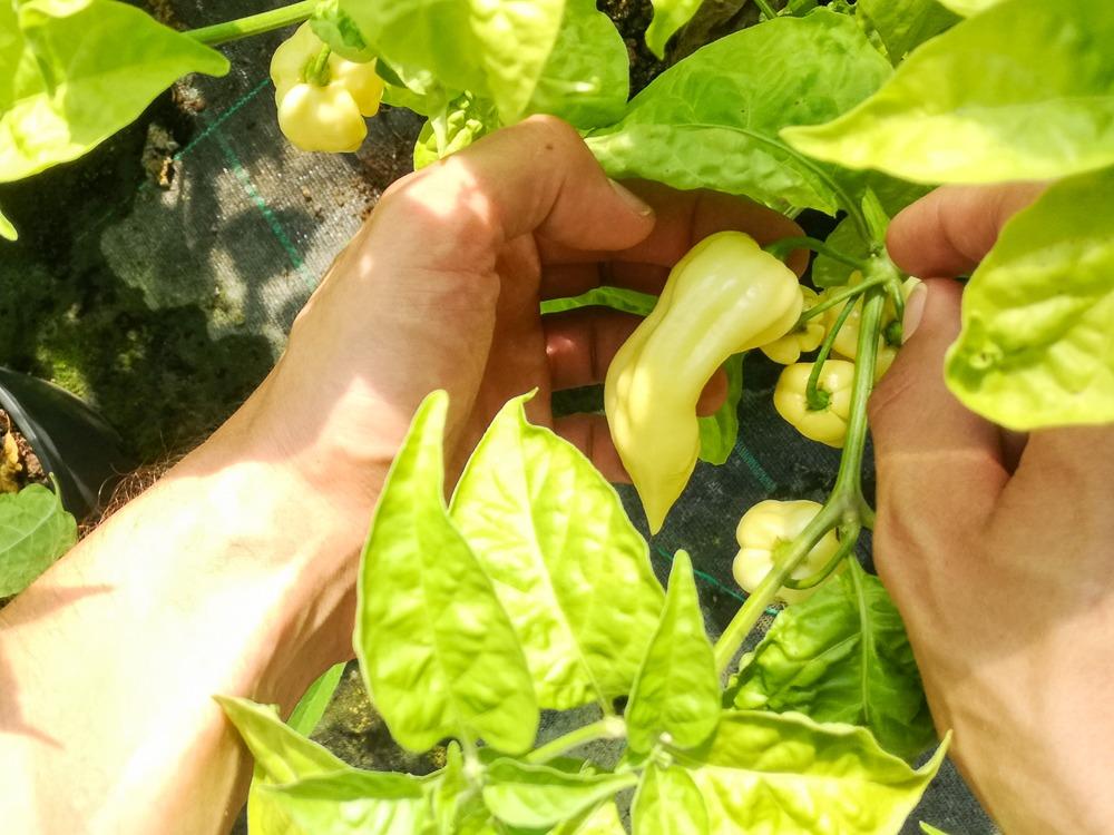 Fatale White Chili